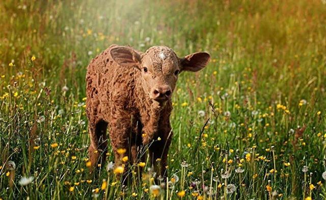 牧場から必死に抜け出し、人々に勇気をあたえた子牛の物語