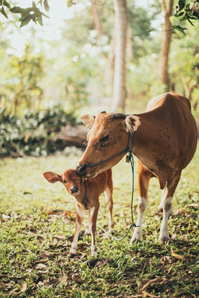 子牛の物語5